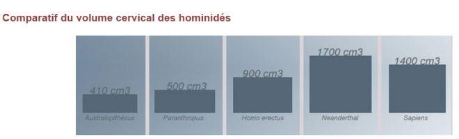 taille cerveau hominidés